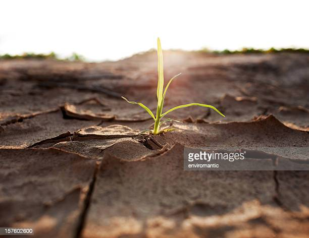 Shoot growing through parched earth.