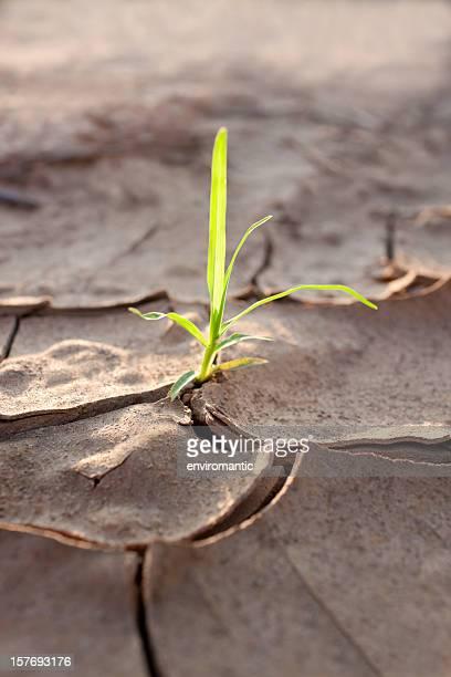 Tirer la croissance au parched terre.