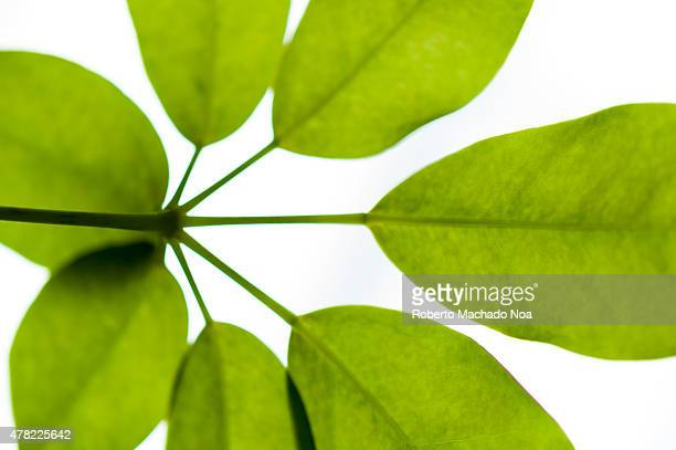 Shoot or sprout of a plant over white background Young green foliage on a white background