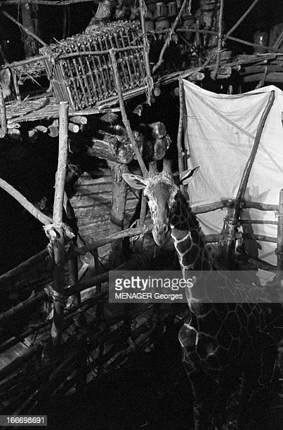 Shooting Of 'La Bible' By And With John Huston En janvier 1968 sur le tournage du film 'La Bible' du réalisateur John HUSTON une girafe dans un...