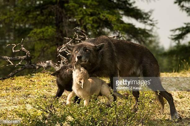 Shooting Of The Film 'Loup' By Nicolas Vanier Tournage du film de Nicolas Vanier 'LOUP' en Sibérie dans les monts de Verkhoïansk Un loup avec ses...