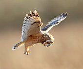 short eared owl on the hunt. 9-12-11