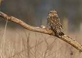 Short eared owl perched on log