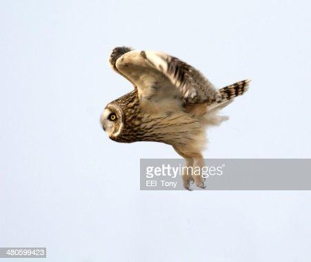Short Eared Owl : Stock Photo