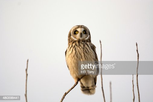 Short Eared Owl : Stock Photo