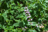 Short view of a beautiful wild mint flower in the middle of the day.
