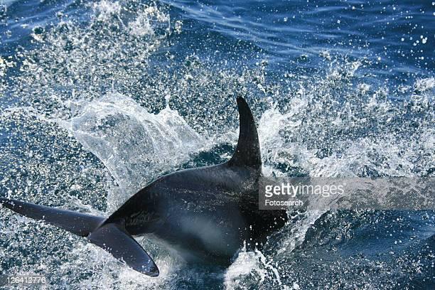 Short-beaked Common Dolphin (Delphinus delphis) bow riding. Pembrokeshire, Wales, UK