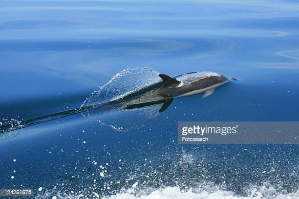Short-beaked Common Dolphin (Delphinus delphis) Pembrokeshire, Wales, UK