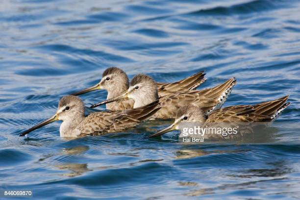 Short-Billed Dowitchers swimming