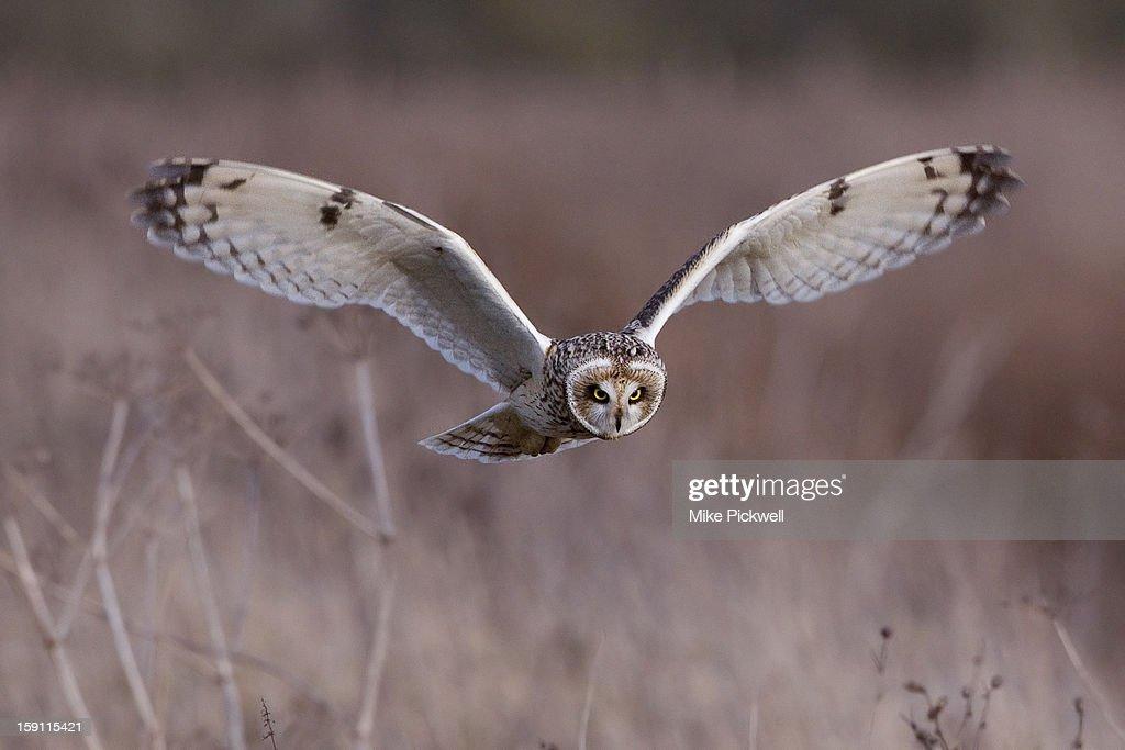 Short-eared owl - Asio flammeus : Stock Photo