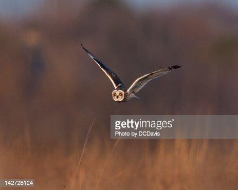 Short-eared Owl : Stock Photo