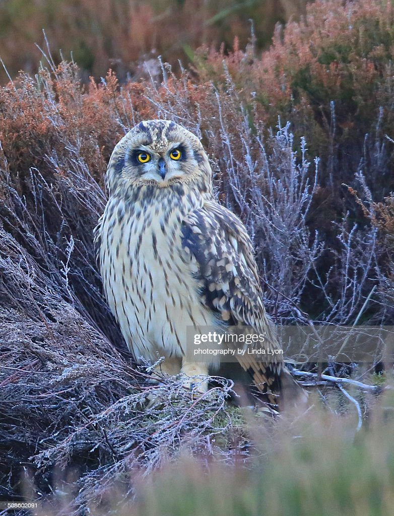 Short-eared Owl : Foto de stock