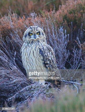 Short-eared Owl : Foto de stock