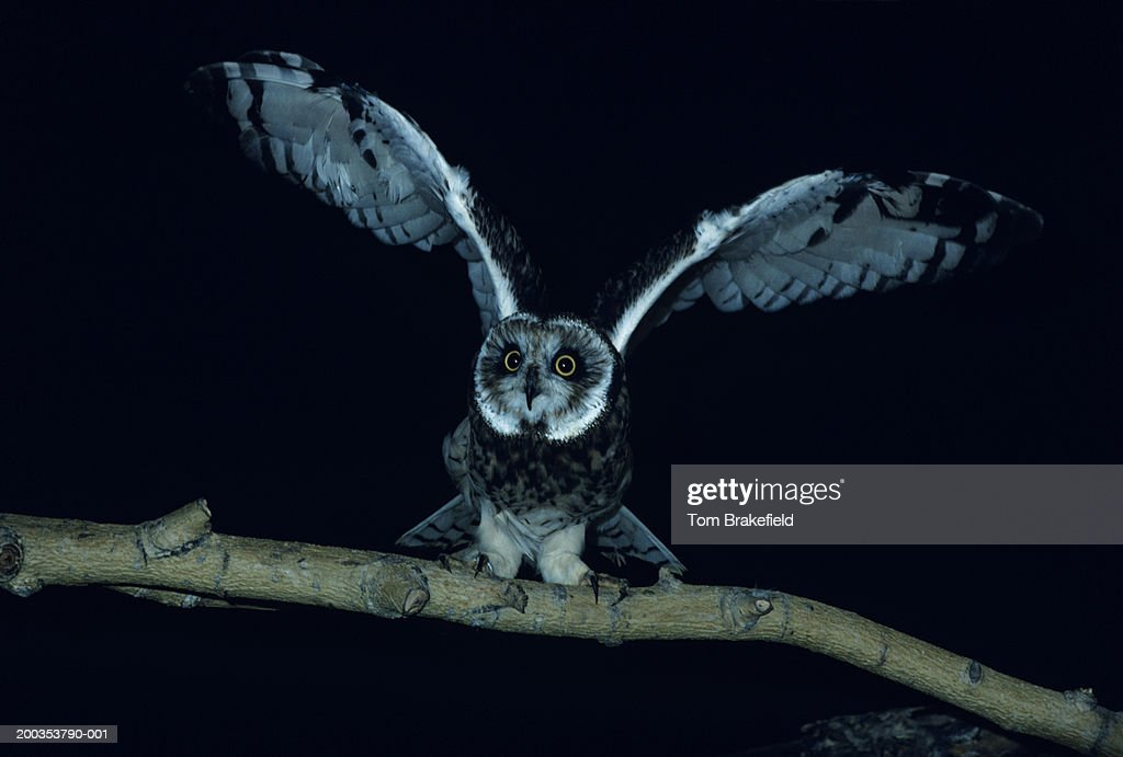 Short-eared owl with wings spread, North America : Stock Photo