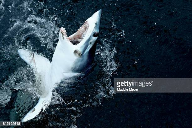 A shortfin mako shark emerges from the water after being caught by Eric Kelly on the Kalida during the 31st North Atlantic Monster Shark Tournament...