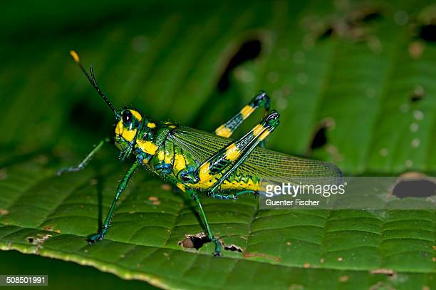 Short-horned grasshopper -Chromacris sp.-, Tiputini rain forest, Yasuni National Park, Ecuador, South America