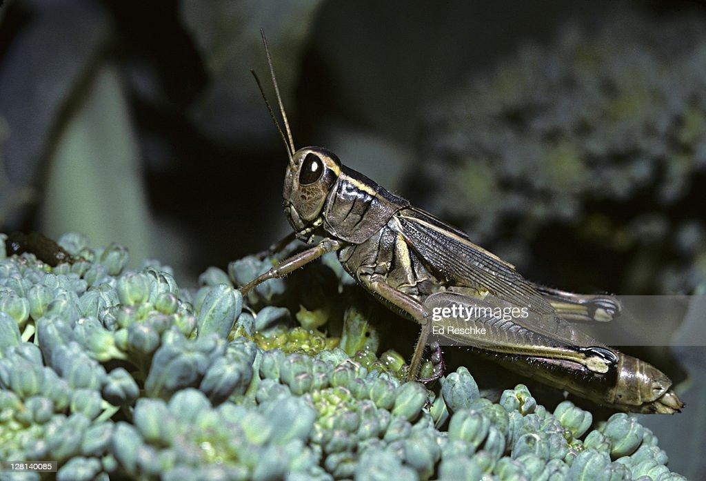 Short-horned Grasshopper on broccoli : Stock Photo