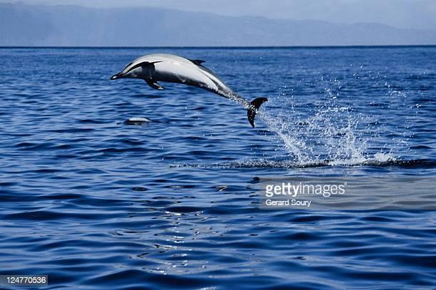 short-nosed common dolphin,delphinus delphis, leaping, azores, port