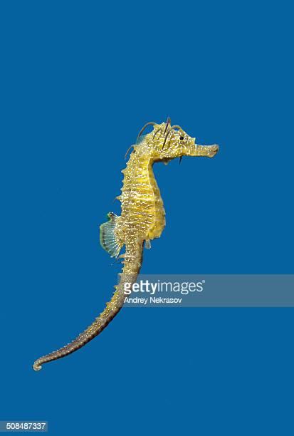 Short-snouted Seahorse -Hippocampus hippocampus-, Black Sea, Crimea, Russia