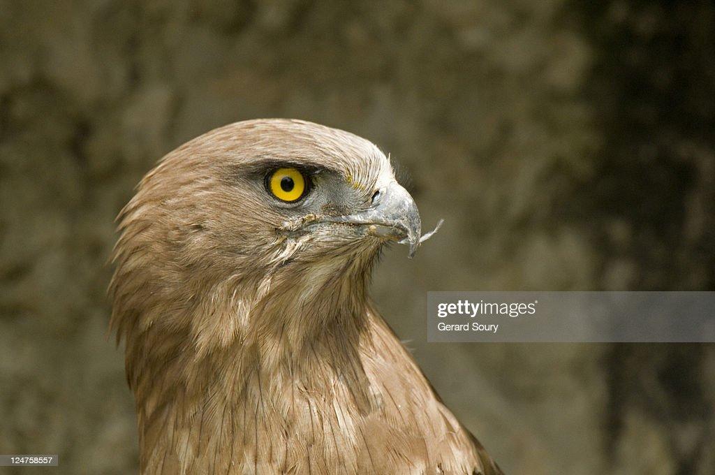 Shorttoed eagle parc des oiseaux la domes france stock for Oiseaux de france