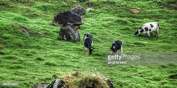 A shot of a herd of cows eating grasses