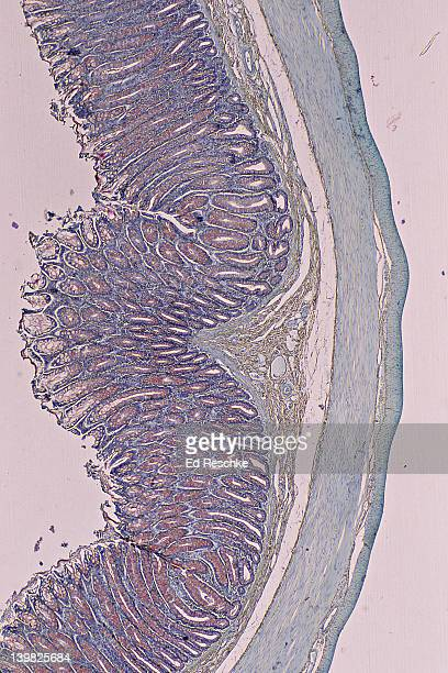 LARGE INTESTINE (COLON), LAYERS (OR TUNICS), 10X. Shows: mucosa, submucosa, muscularis (smooth muscle - longitudinal and circular layers), serosa, goblet cells (red).