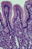 STOMACH MUCOSA. FUNDIC REGION WITH GASTRIC GLANDS, HUMAN, 100X Shows: simple columnar epithelium, gastric pits, gastric glands with parietal (secrete HCl) and chief cells (secrete enzymes).