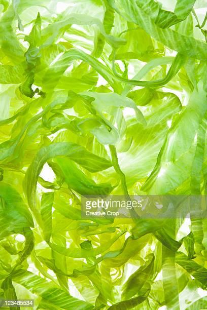 Shredded iceberg lettuce