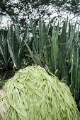 Shredded Sisal in comparision with the plants before being harvested on the background on August 27th in Valente Bahia Brazil