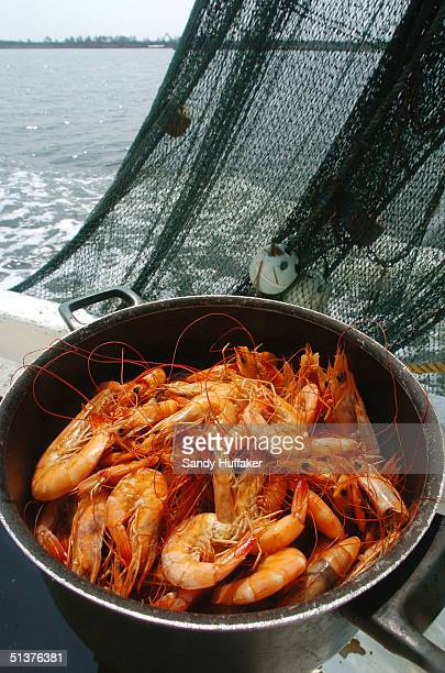 Shrimp caught in the Gulf of Mexico lie in a pot aboard a shrimp boat in the Mississippi Gulf outlet September 29 2004 of the Louisiana Bayou...