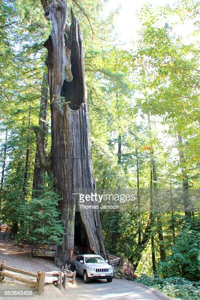 Shrine drivethru tree Avenue of Giants Humboldt Redwoods State Park California