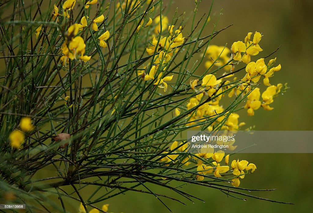 A shrub with yellow flowers during the first round of the Trophee Hassan II at Royal Golf Dar Es Salam on May 5, 2016 in Rabat, Morocco.