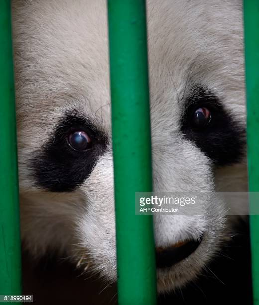 Shuan Suah one of the two giant pandas born in captivity in Mexico is seen during a physical inspection in the area of care of the Chapultepec zoo in...