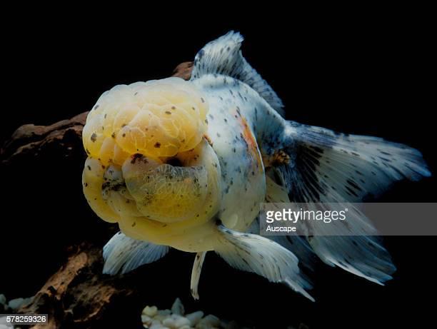 Shubunkin goldfish Carassius auratus auratus in aquarium Shubunkin is a singletail variety of goldfish