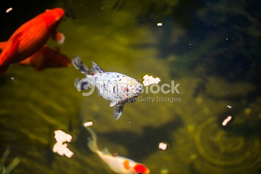 Shubunkin in den teich mit goldfischen stock foto thinkstock for Shubunkin teich