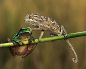 A chameleon was bored because of the chatter frog.