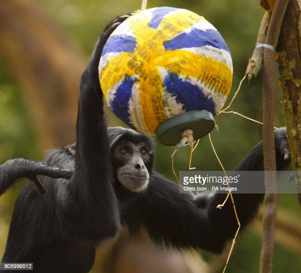 A Siamang gibbon examines an Easter themed treat at Marwell Wildlife Park near Winchester They were given papier mache eggs containing tasty treats...