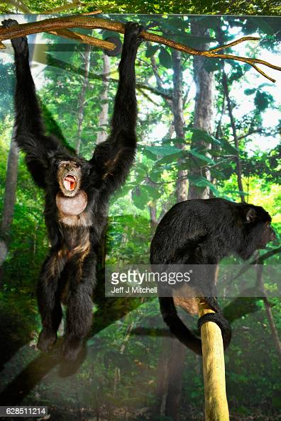 A siamang gibbon is displayed during a press preview for a new taxidermy exhibition on December 8 2016 in Edinburgh Scotland More than sixty...