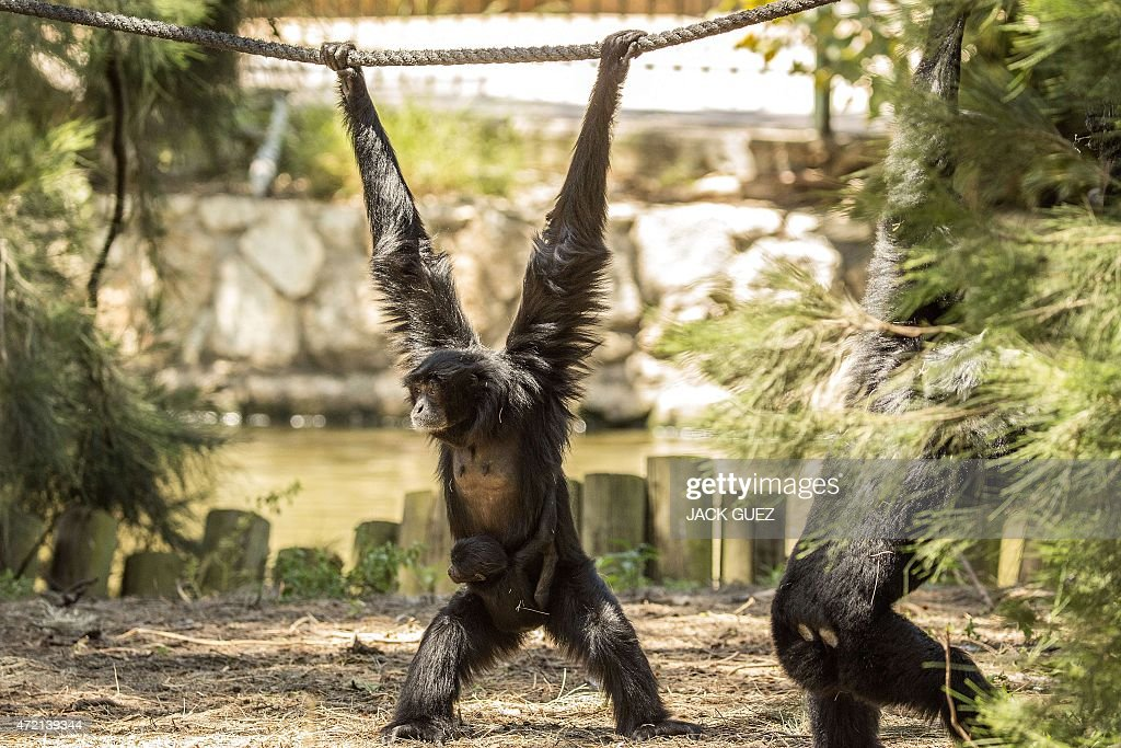 A Siamang Gibbon mother Jambi carries her baby at the safari park and zoo on May 4 2015 in Ramat Gan near Tel Aviv The baby is reported to have been...