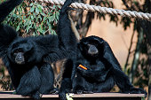 Siamang gibbons Cian and Tunku are introduced to their custom built enclosure at The National Zoo Aquarium on July 7 2016 in Canberra Australia The...