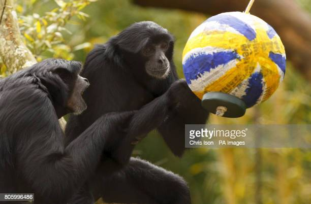 Siamang gibbons examine an Easter themed treat at Marwell Wildlife Park near Winchester They were given papier mache eggs containing tasty treats of...