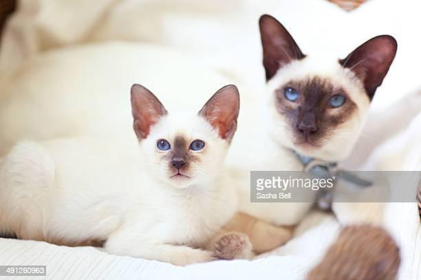 Siamese cat and siamese kitten