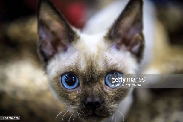 A Siamese cat is seen during the 'Valencia Cup' international cat exhibition in Moscow on November 18 2017 / AFP PHOTO / Mladen ANTONOV