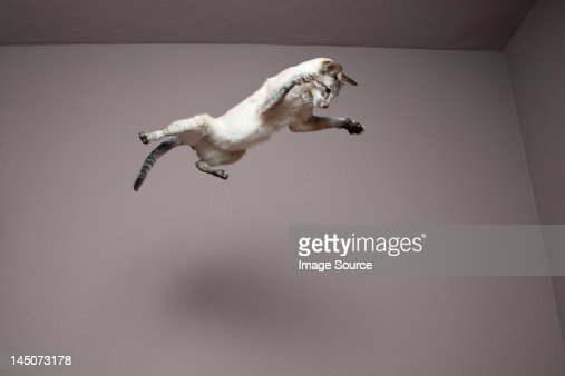 Siamese cat jumping in the air : Stock Photo