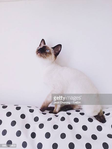 Siamese Cat On Spotted Sofa Against White Wall
