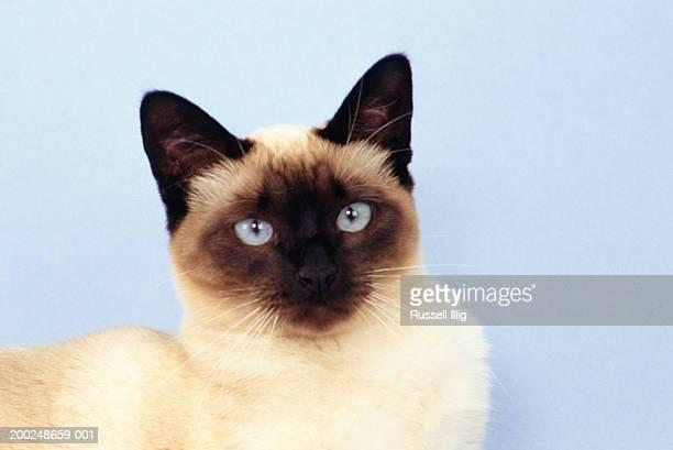 Siamese cat, (Close-up), (Portrait)