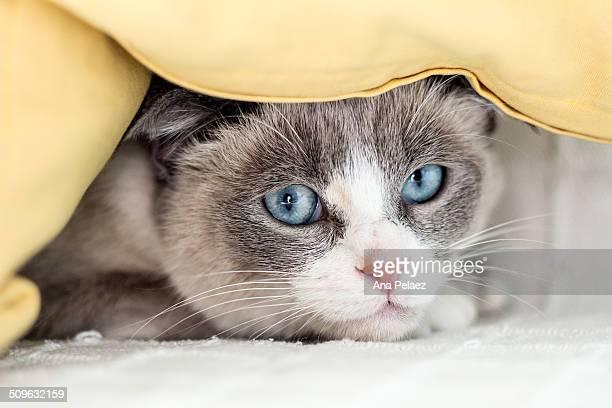 Siamese cat portrait