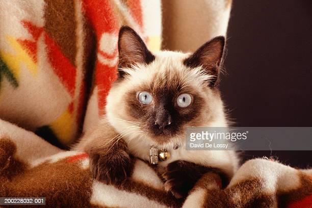 Siamese cat sitting on blanket, portrait