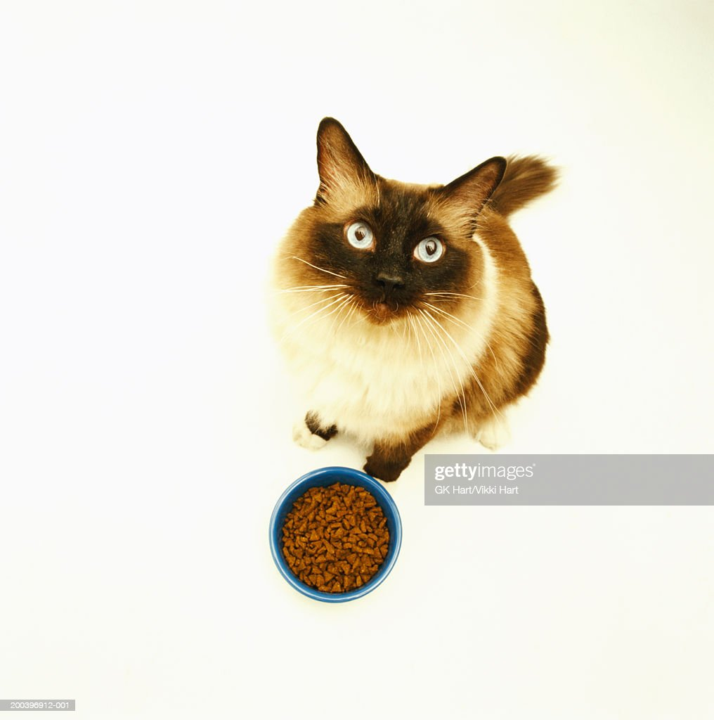 Siamese cat with bowl of food looking upwards, elevated view : Stock Photo