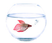 Siamese fighting fish and fishbowl in front of white background